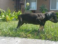 Approx. 2 months old Mastiff Pups. 2 female 4 males,