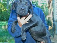 We now have available this beautiful Cane Corso female