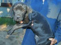 We now have available this gorgeous Cane Corso female