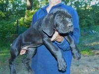 We now have available this beautiful Cane Corso male