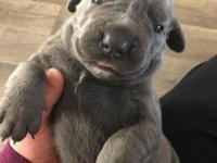 Full blooded Cane Corso. See other ad.  for full