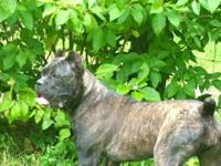 "Dream Team Kennels Home to the ""2012 Working Cane Corso"