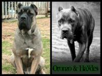 Cane Corso Mastiff. Beautiful Blue brindle color. HUGE!