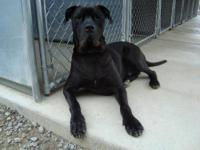 Cane Corso Mastiff - Hank - Extra Large - Adult - Male
