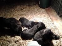 We have males and females offered. All puppies are