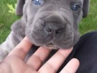 I have 3 beautiful blue eyed, grey cane corso mastiff