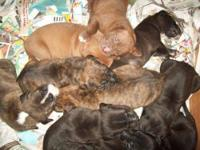 Cane Corso Mastiff - Puppies!!!! - Large - Baby - Male