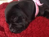 12 week cane corso mastiff black puppy! Great with