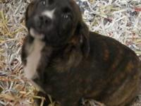 Cane Corso Mastiff - Zibby And Nibby - Medium - Baby -