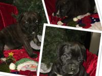 CANE CORSO PUPS SIX WEEKS OLD ICCF REFISTERED SHOTS AND