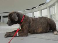 BEAUTIFUL CANE CORSO PUPPIES ARE READY FOR THERE