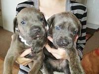 We have AKC blue brindle female and male Cane Corso