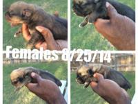 Dual Registered AKC/ICCF Cane Corso Puppies. Dam Lady,