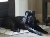 Cane Corso puppies for sale puppies as of now 8 weeks