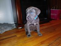 We have 1 blue female and 1 blue bridle male Cane Corso
