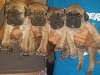 We have 8 beautiful Cane Corso young puppies all set to
