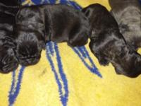 Cane Corso Puppies Born 7-6-15 5 males 1 female ICCF