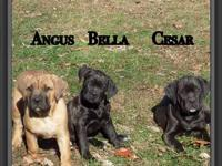 We have 3 beautiful Cane Corso Italian Mastiff puppies