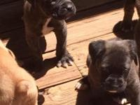 Lovely Cane Corso puppies are ready for their