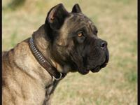 Stony Creek Cane Corso is very excited to announce Mad