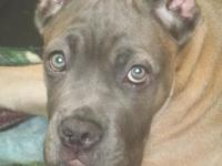 Walking cane Corso pup-1 Beautiful Sweet women left