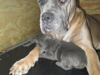 ****Ready to go 1st week of May **** Cane Corso puppies