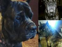 I have 3 female and 1 male Cane Corso puppies