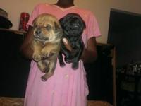 I have a 3 week old red formentino cane corso pup born