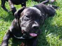 Cane Corso-registered FCI (Mastiff Italian) 2 brindle