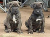 Hi, We 2 male cane corso pups available. They just