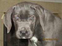 Cane Corso Pups, beautiful solid BLUES and gorgeous