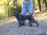 We have 4 Cane Corso pups that need homes, 2 males and