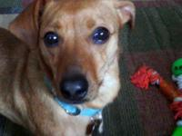 This young, male, Dachshund mix came to us shy &