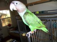 Beautiful 3 year old Cape parrot. Pictures listed are