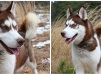Cappuccino is a brilliantly beautiful 2 year old husky