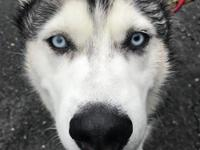 Meet Captain. Rescued from Texas, now at Husky House,