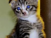 Ollivander is a gorgeous male Scottish Fold kitten that