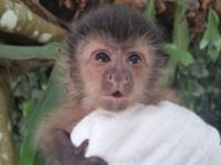 Animal Type: Capuchin Monkeys M/F Capuchin Monkeys