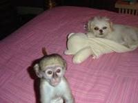 Animal Type: Monkeys M/F Capuchin Monkeys