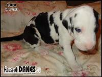 One of a litter of 14 Great Dane puppies for sale -