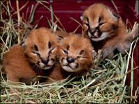 BREED: Caracal and Cheetah cubs - Females and Males