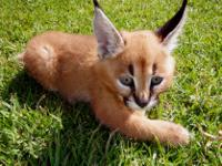 Animal Type: Cats Caracal kittens available . Our