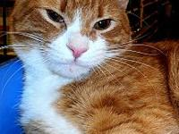 Caraway's story Caraway is a gorgeous red tabby with