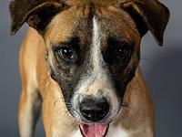 My story My name is Carencro. I'm a 45 lb Male Pit mix