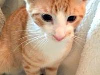 Carlito is a beautiful orange and white kitten who