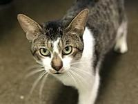 Carlos's story Carlos is a brown tabby and white male