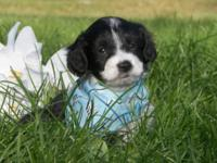 DOB: July 11, 2015 Black and white male Aussiedoodle,