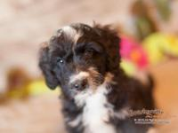 **PRICE REDUCED** This gorgeous Aussiedoodle was born