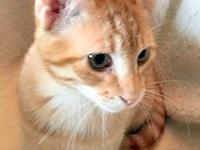 Carmelo is a handsome red and white mackerel tabby male