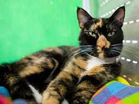 My story DSH tortoiseshell with white (Tortico) spayed